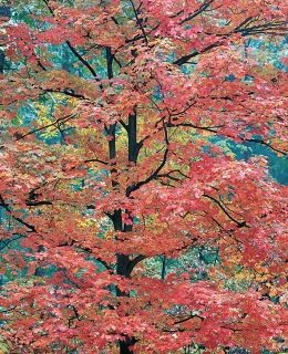 Christopher Burkett, Young Red Maple